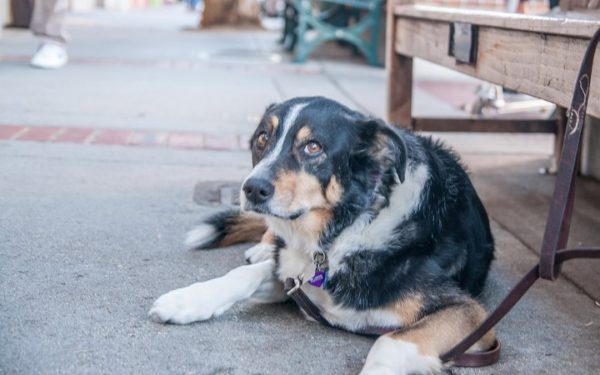 Image of a dog lying down on the sidewalk in Los Gatos, a common event in a town named for cats